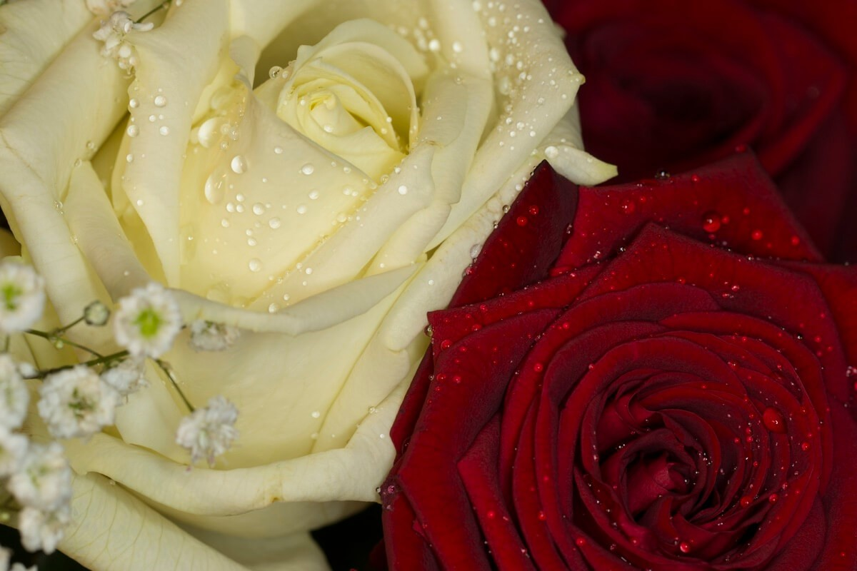 What Do Red And White Roses Together Symbolize Image Collections